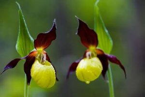 Yellow and Purple Lady Slippers Endangered Flower